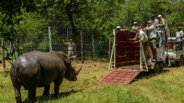 Rhino being rescued into a truck for relocation