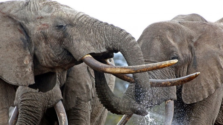 elephants with tusks playing with water