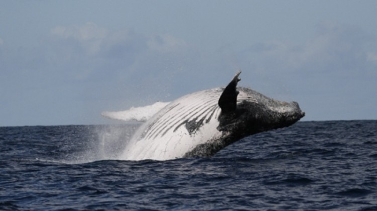 Whale watching holidays - whale breaching in the sea off Isle St Marie, Madagascar