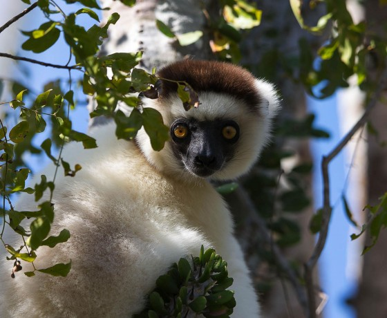Dancing lemurs in the South