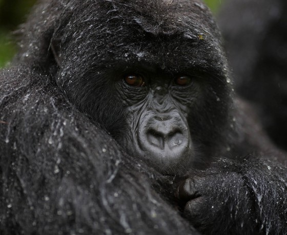 Gorillas in Volanoes National Park