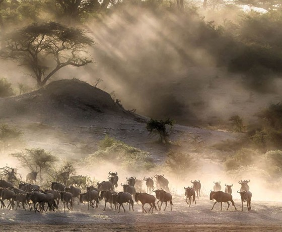 track the wildebeest migration, herd in the dust