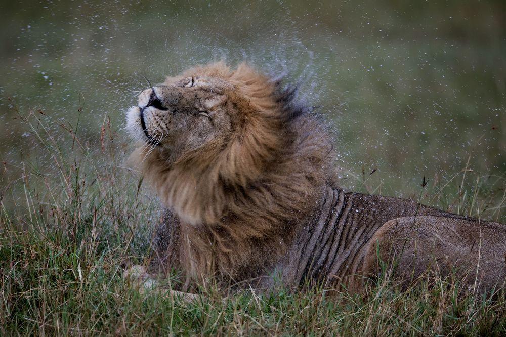 lion-wet-with-rain