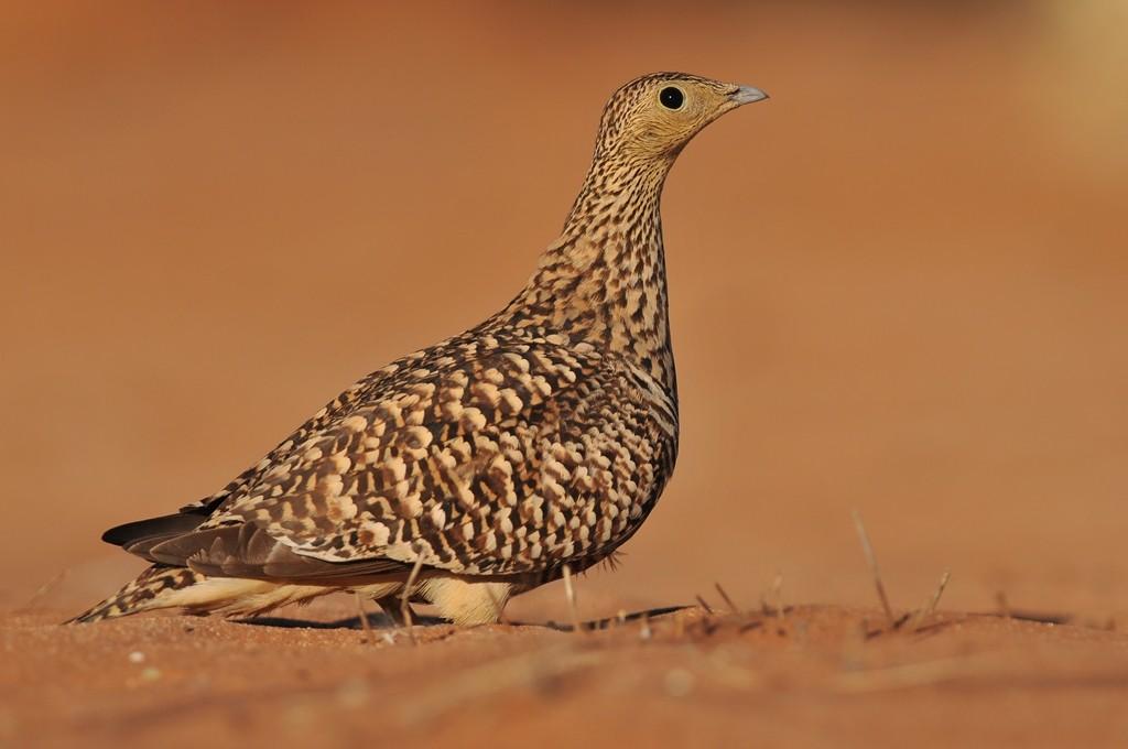 2012-07_Namibie-18_Sesriem_woestijn_139_Namaqua_Sandgrouse