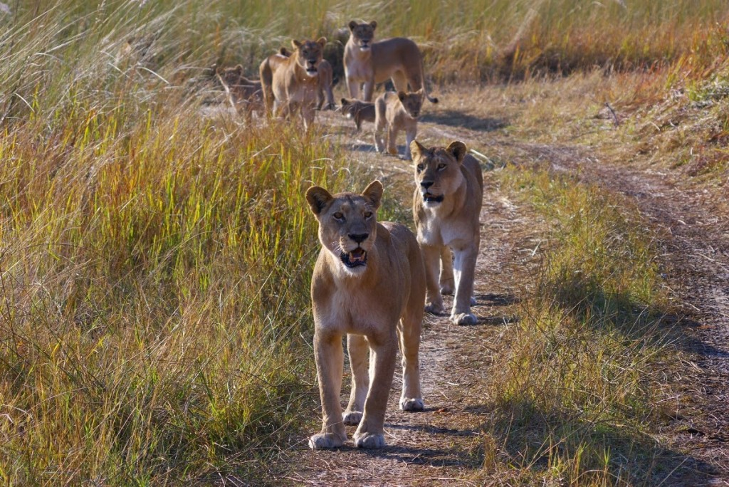 Celebrating Botswana Country slider Bots Camp Moremi Lion pride