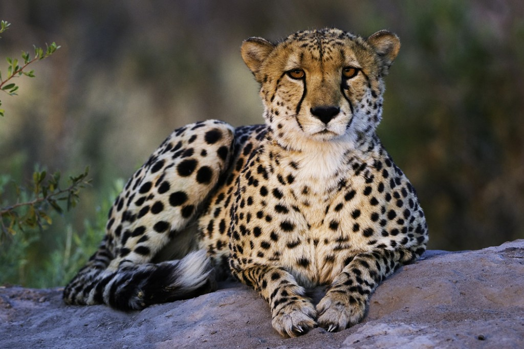 Cheetah poised at Zarafa Camp, Selinda Reserve, Botswana