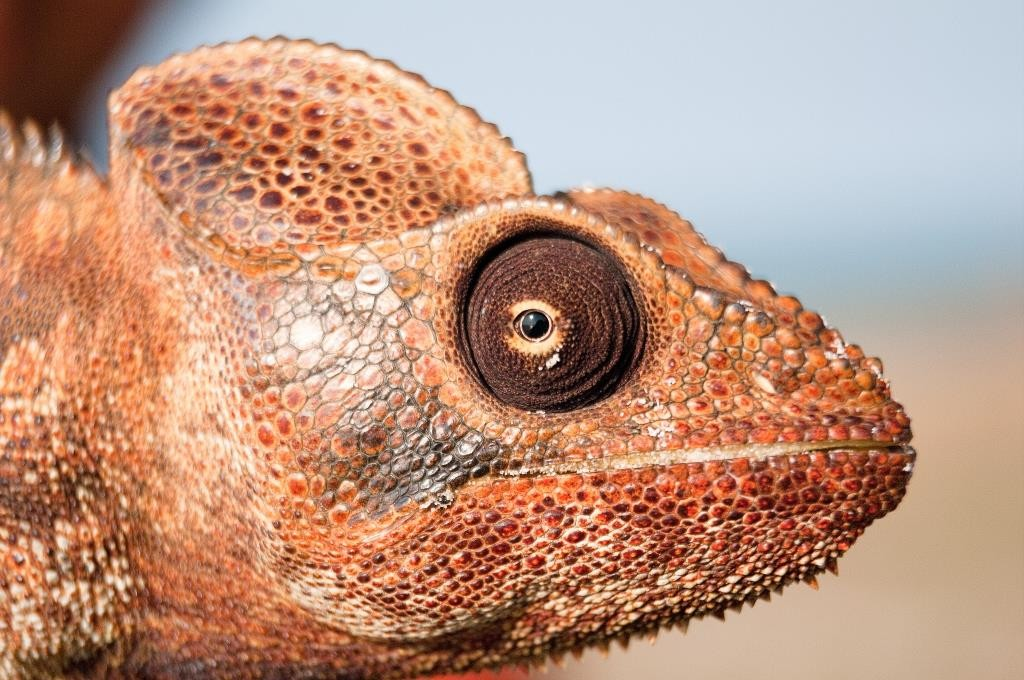 Chameleon at Miavana