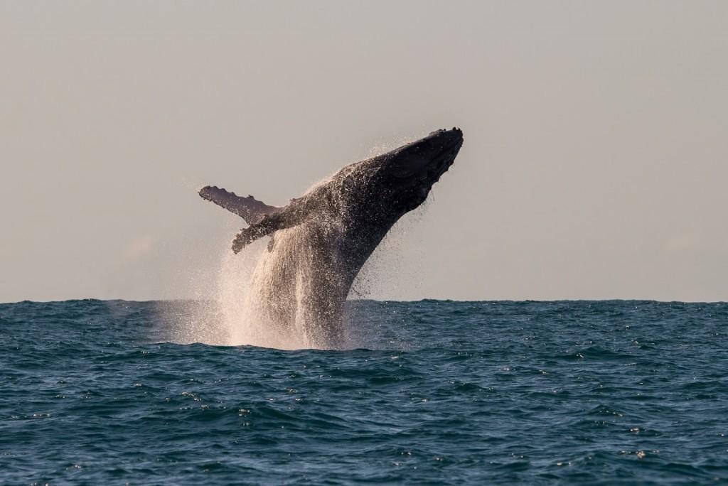 A whale breaching, Manafiafy