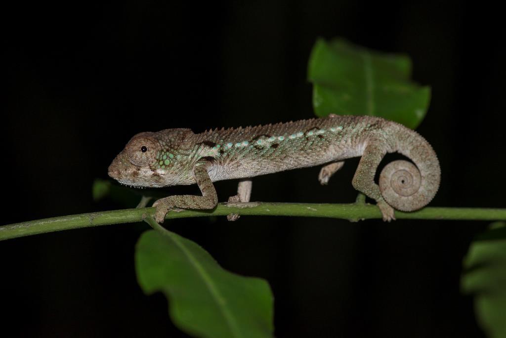 Chameleon at Manafiafy