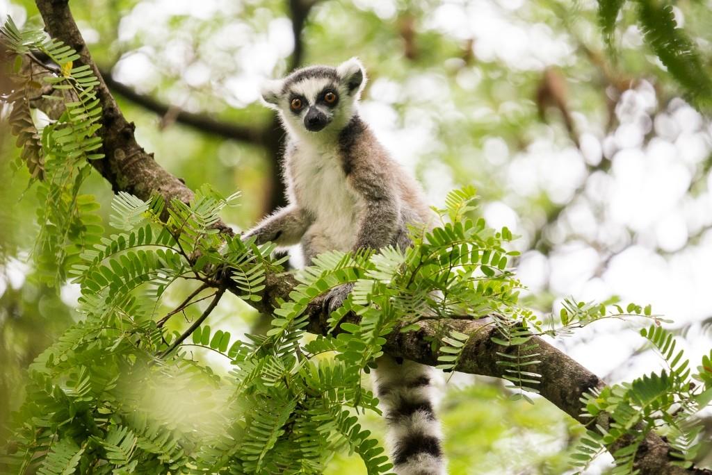 Ring-tailed lemur at Mandrare River Camp