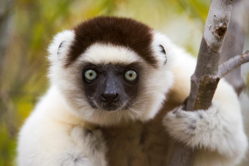 Mandrare River Camp Lemur
