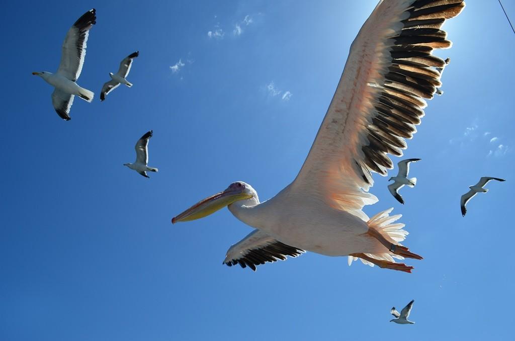 Walvis Bay cruise 4 pelicans