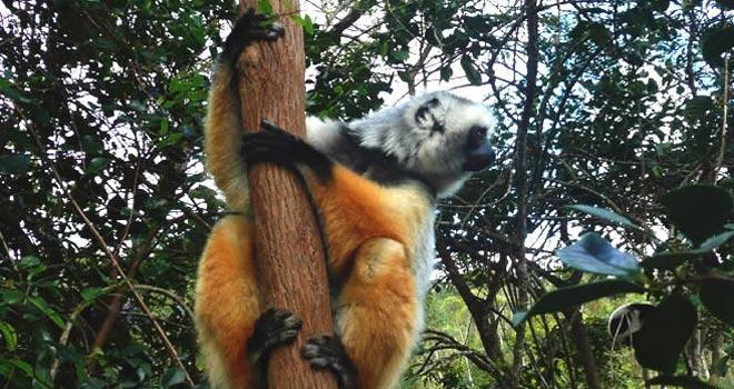 Largest lemur, Indri Indri at Vakona Lodge, Andasibe, Madagascar holidays