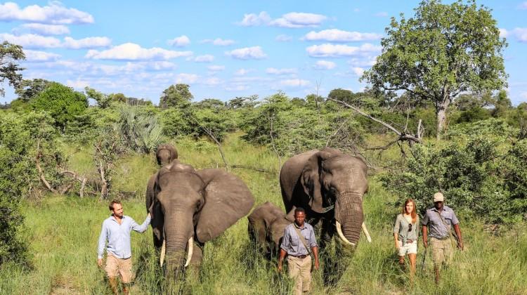 Guests walking with resident Abu herd elephants at Abu Camp, Okavango Delta Botswana