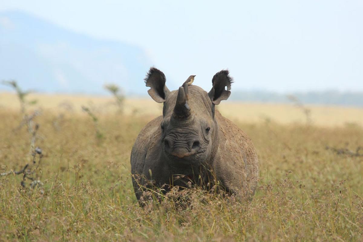 Borana Lodge rhino