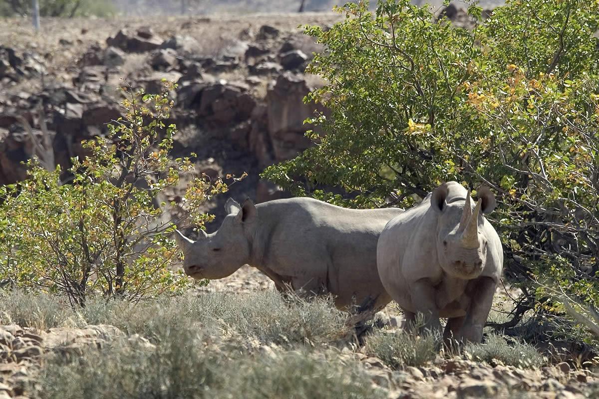 Pair desert rhino at Desert Rhino Camp