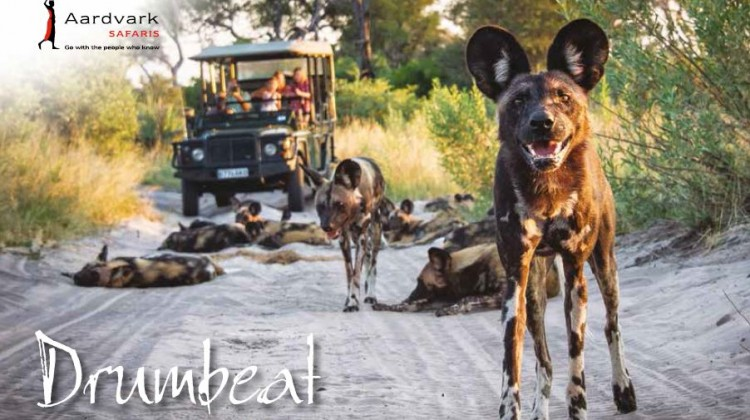 Drumbeat Winter 2016 Front cover wild dog pack close up with safari vehicle