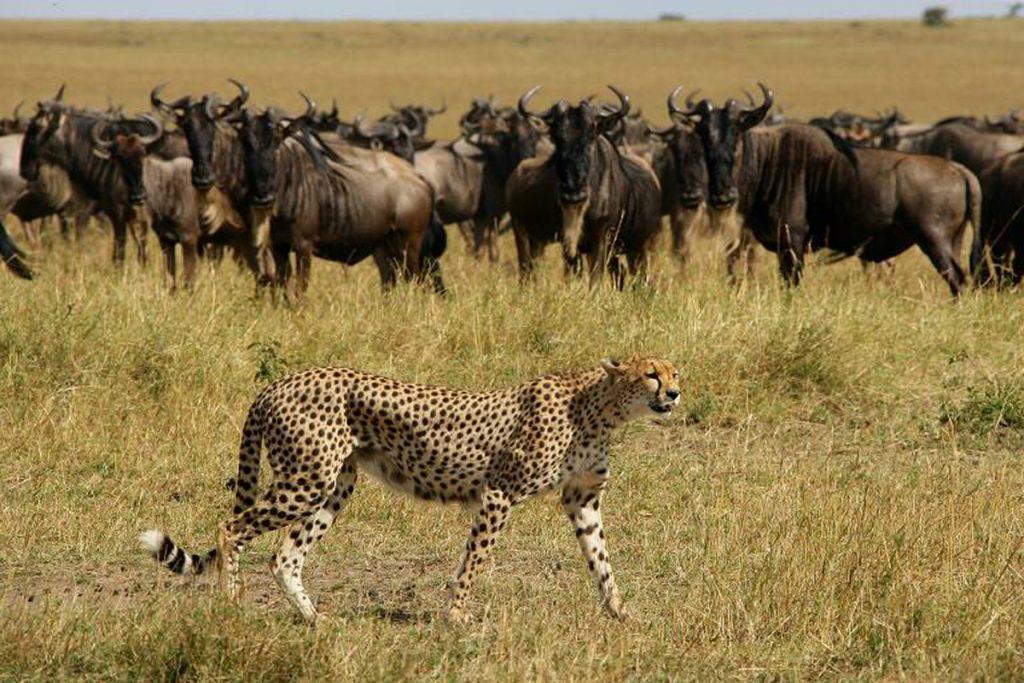 Elephant Pepper Camp wildebeest