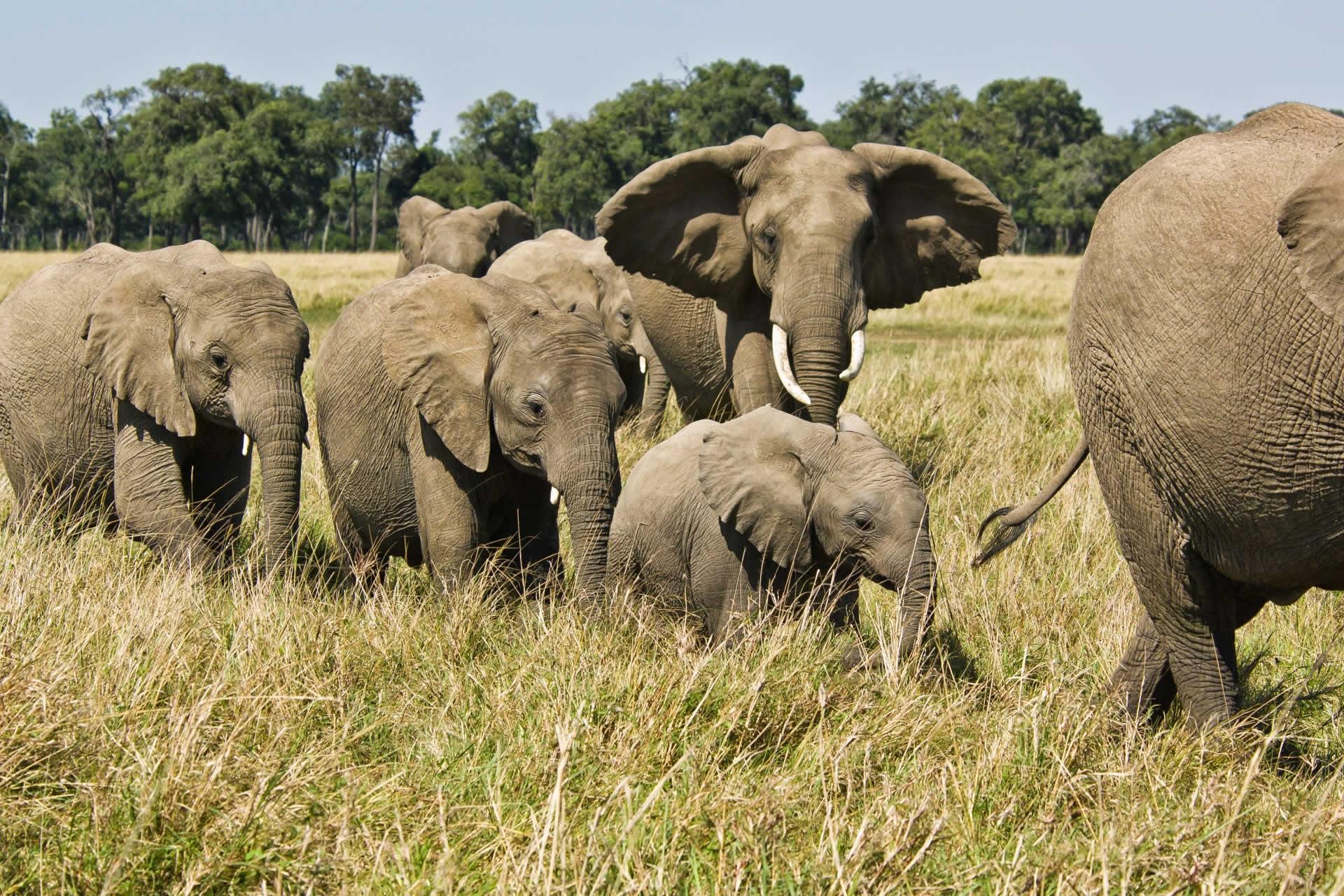 Elephant Watch Camp elephant herd