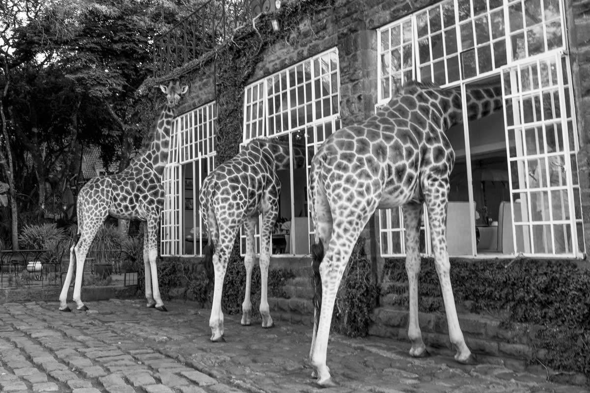 Giraffe Manor Kenya Aardvark Safaris
