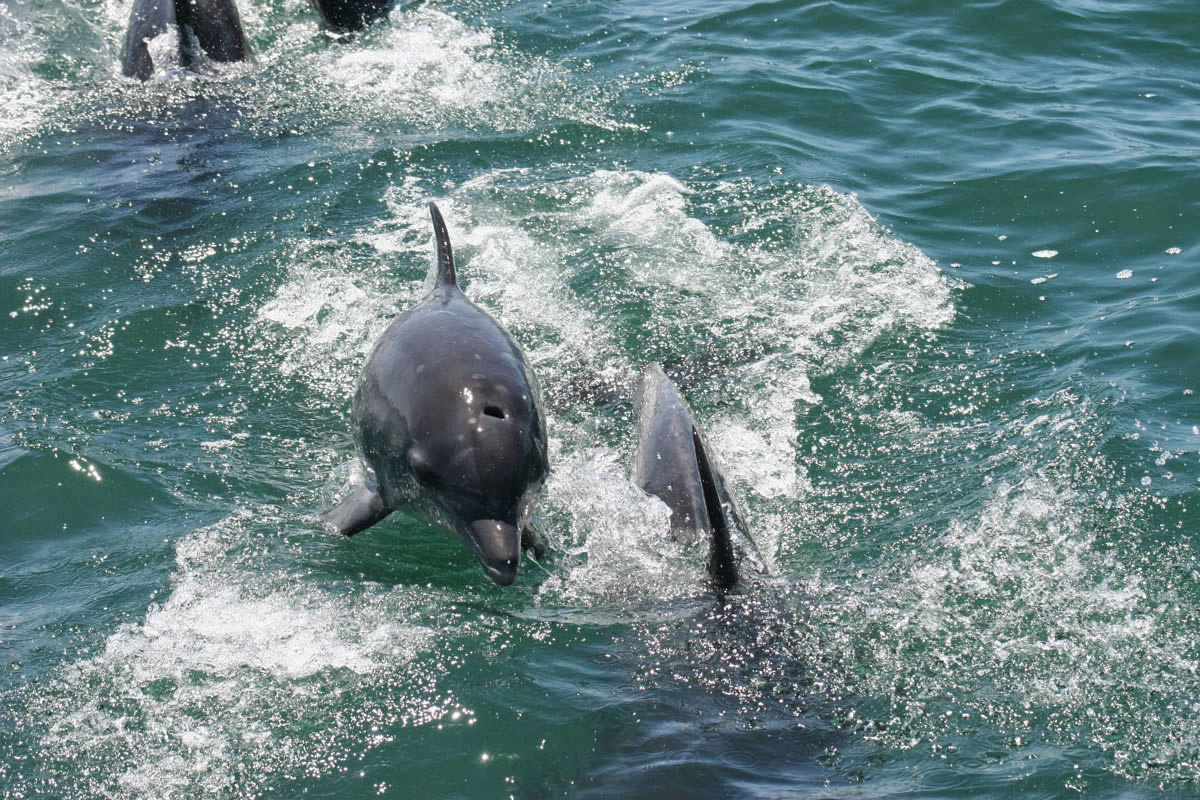 grootbos-dolphin
