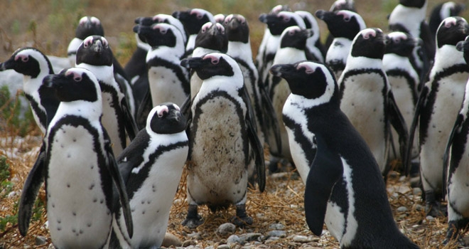 Colony of jackass penguins, Grootbos