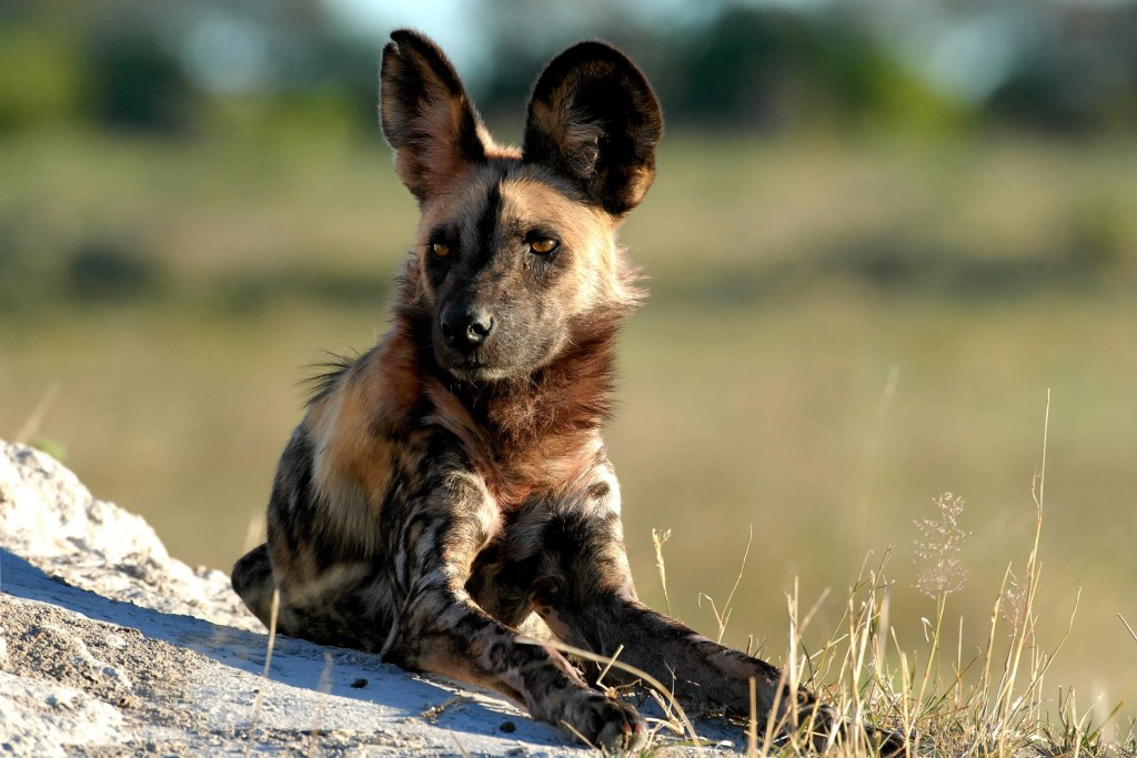Wild dog at Kwara Camp