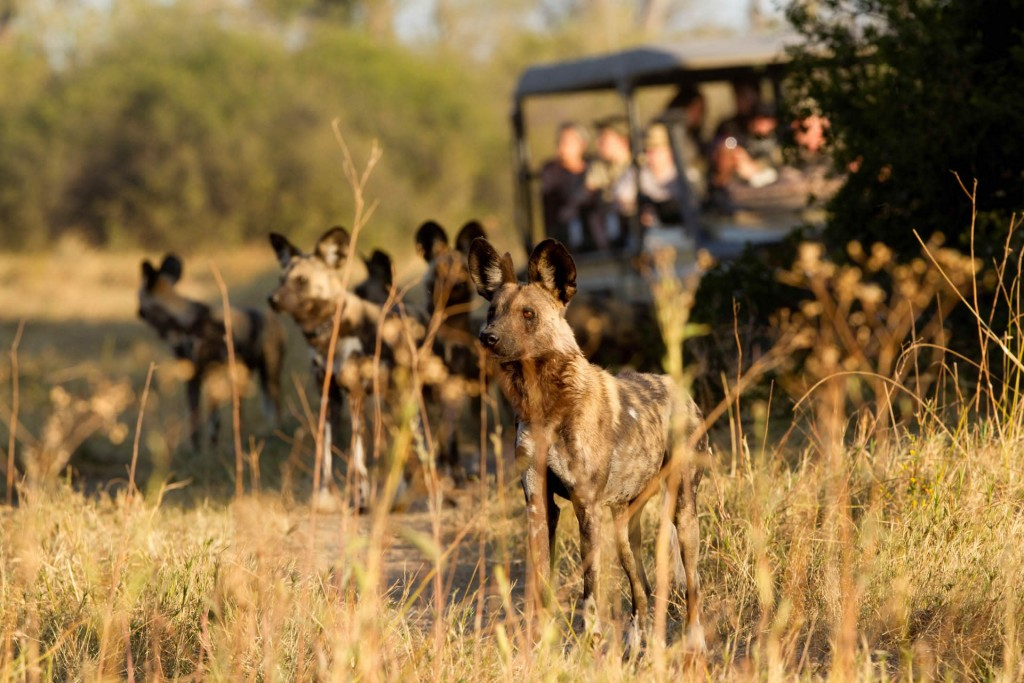 Wild dogs Letaka Safaris