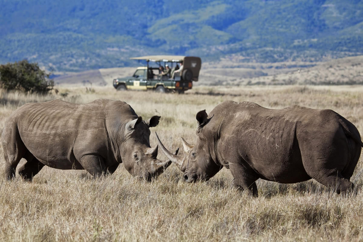Lewa Safari Camp Rhinos fighting
