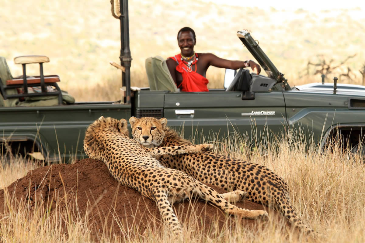 Lewa Wilderness cheetahs on a game drive