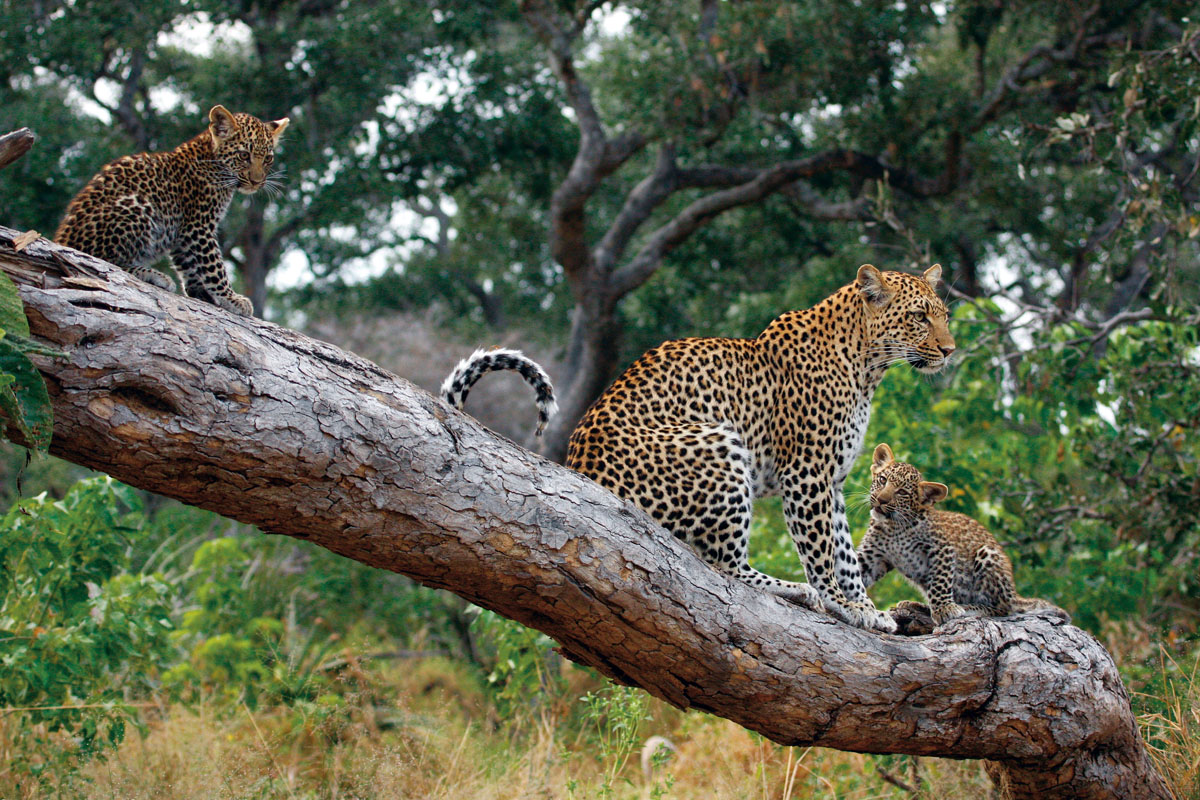 Little Mombo Camp Leopard, Okavango Delta Botswana