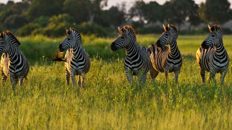 Zebra herd looking left at Mombo Camp, Okavango Delta, Botswana