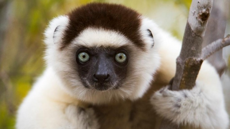 luxury holidays madagascar  Lemur at Mandrare River Camp
