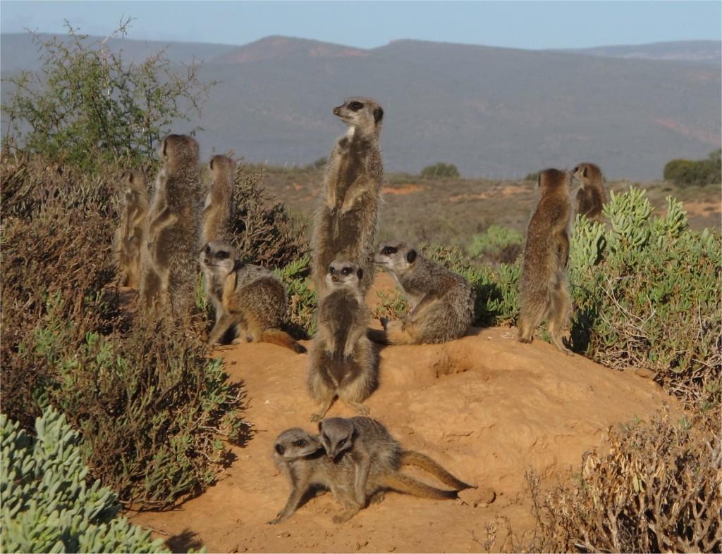 Meerkat-South-Africa-1024x787
