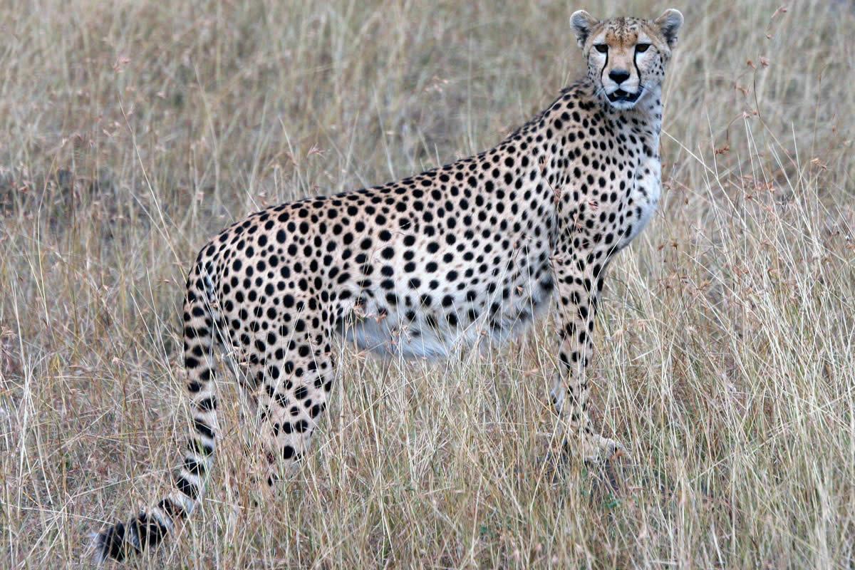 Offbeat-Mara-Cheetah