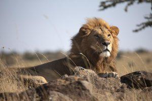 Lion in Mara North Conservancy of Masai Mara