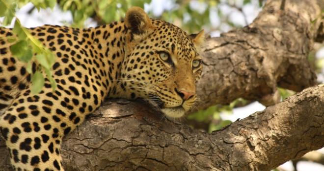 leopard - south african safari Abundance of wildlife at Tanda Tula, Timbavati