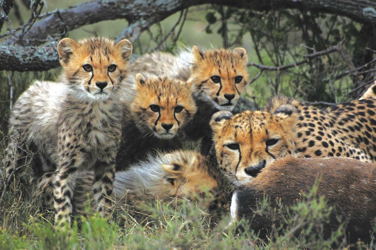 Samara Karoo Lodge cheetah family