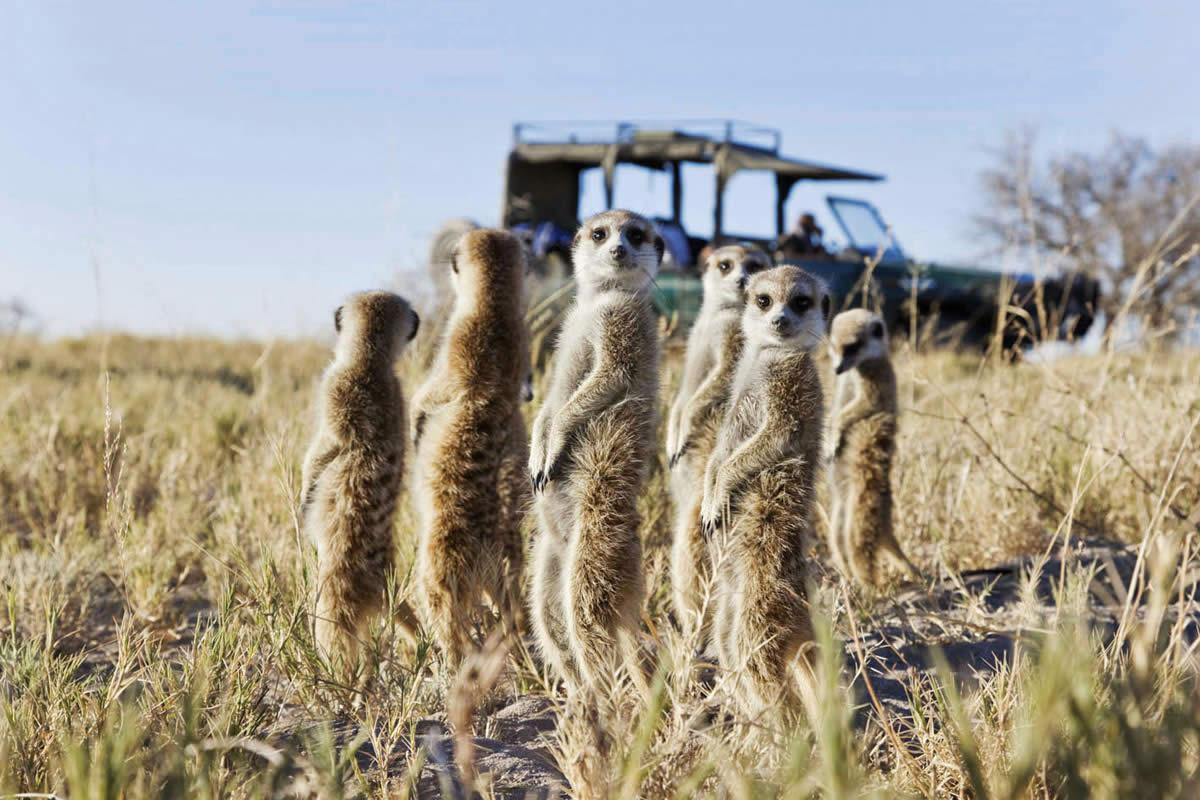 San Camp meerkats