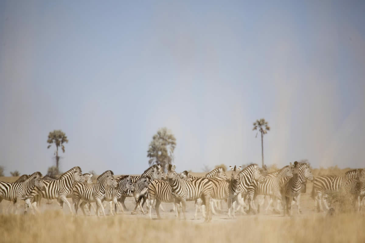 Zebra herds at San Camp