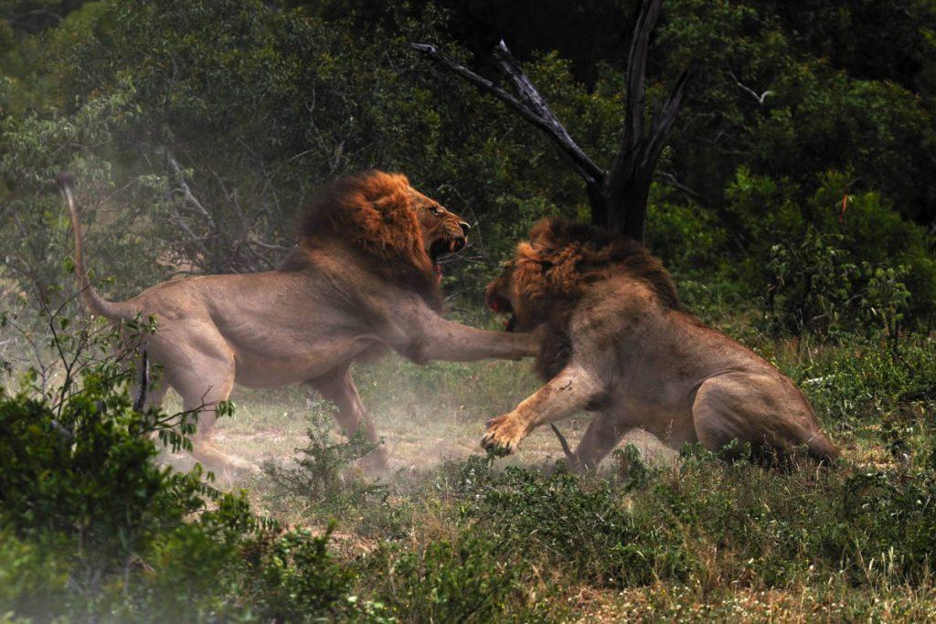 Savanna Lodge lion