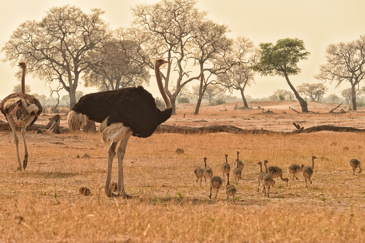 Somalisa Camp ostrich