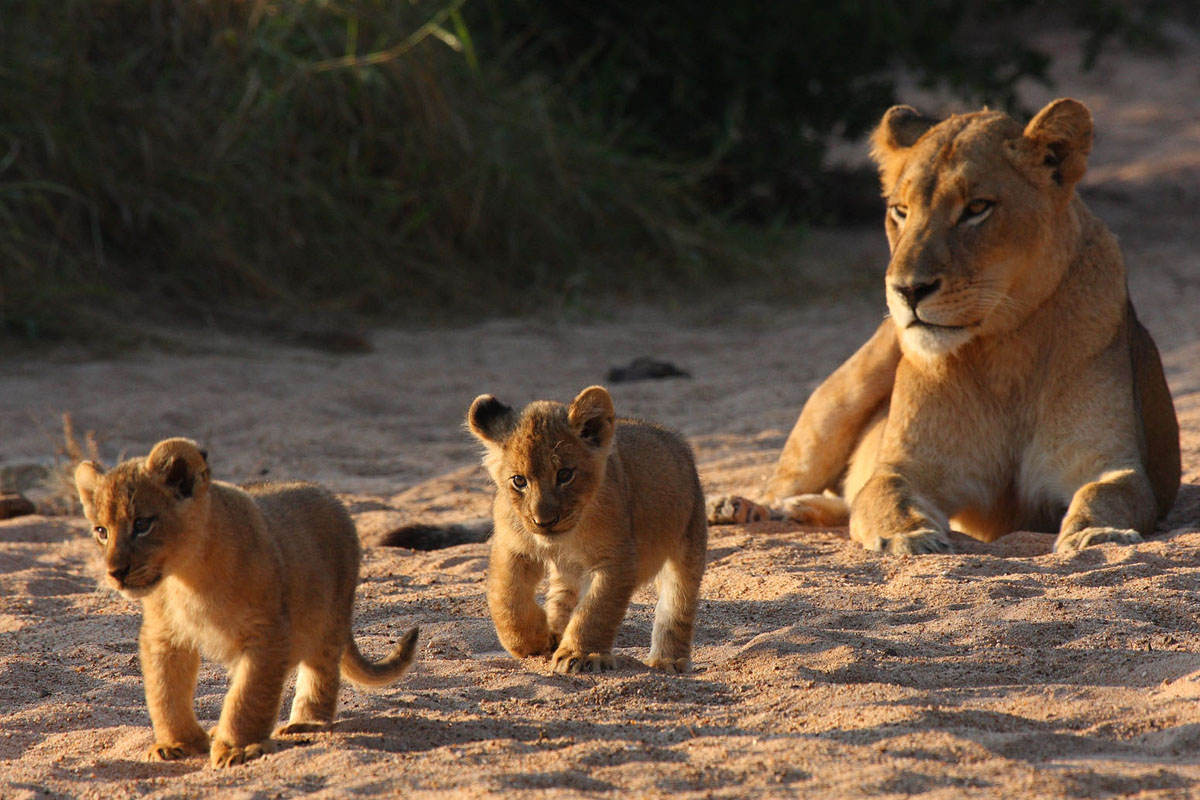 Tanda Tula Field Camp lion cubs