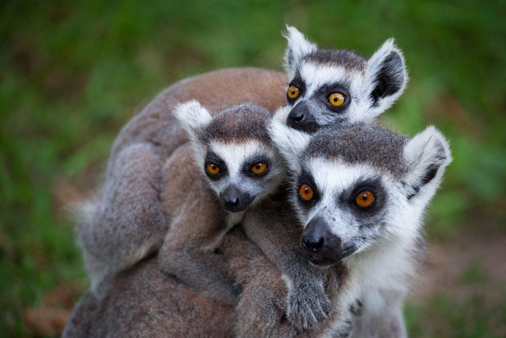 Tsara Komba lemurs