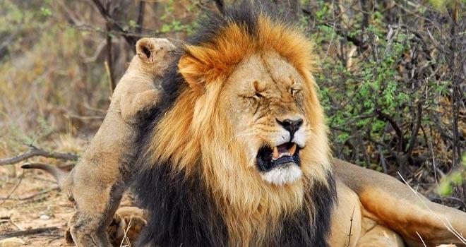A black maned lion and cub, Tswalu, Kalahari