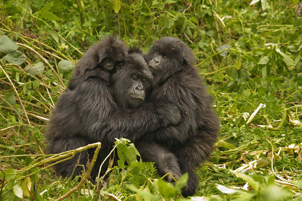 Virunga Lodge, gorilla family