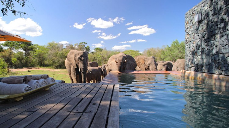 Elephants by the pool at Phinda Lodge South Africa