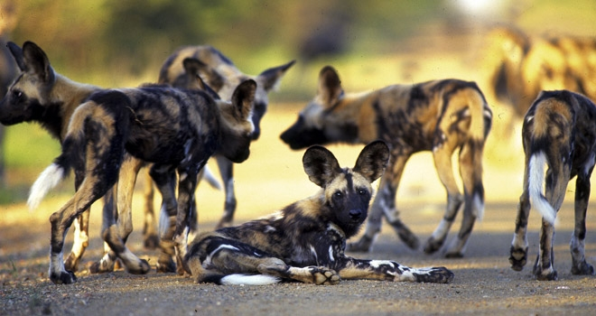 slider_chobe_under_canvas_wild_dog_2