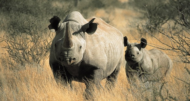 Black rhino mother and young calf in the bush, Tswalu, South Africa