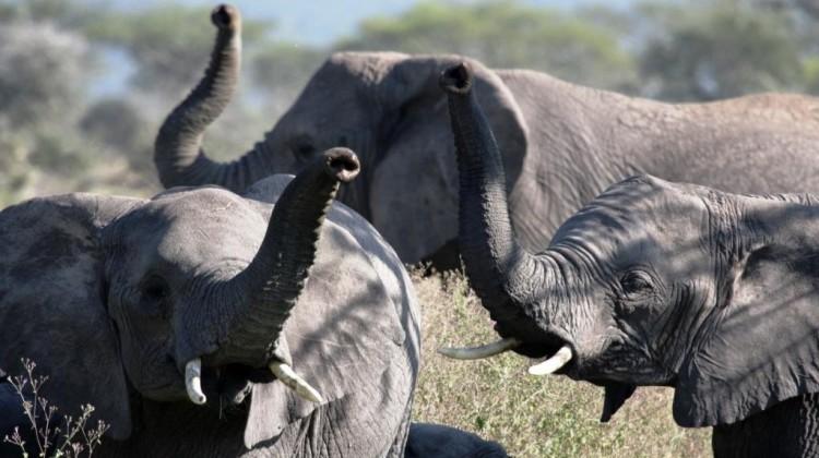 three elephants with raised trunks trumpeting